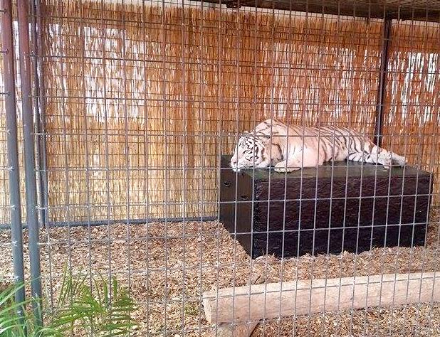 white-tiger-display