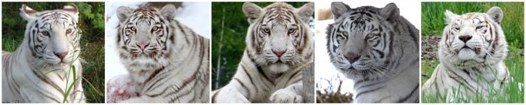 White-tigers-of-TWS-768x154