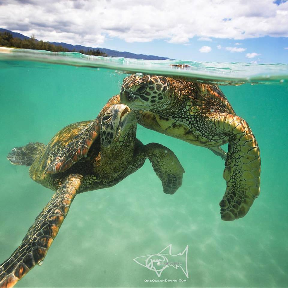 Photo of Lovey Dovey Turtles Shows Us Why We Need to Fight To Protect Them