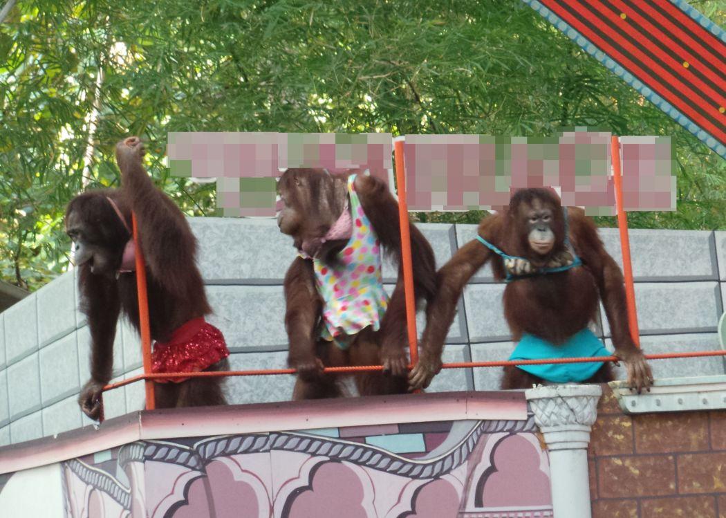 orangutans_dressed_up_at_show_blurred