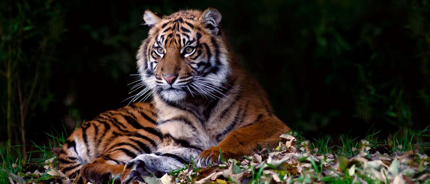 sumatra-tiger-slider