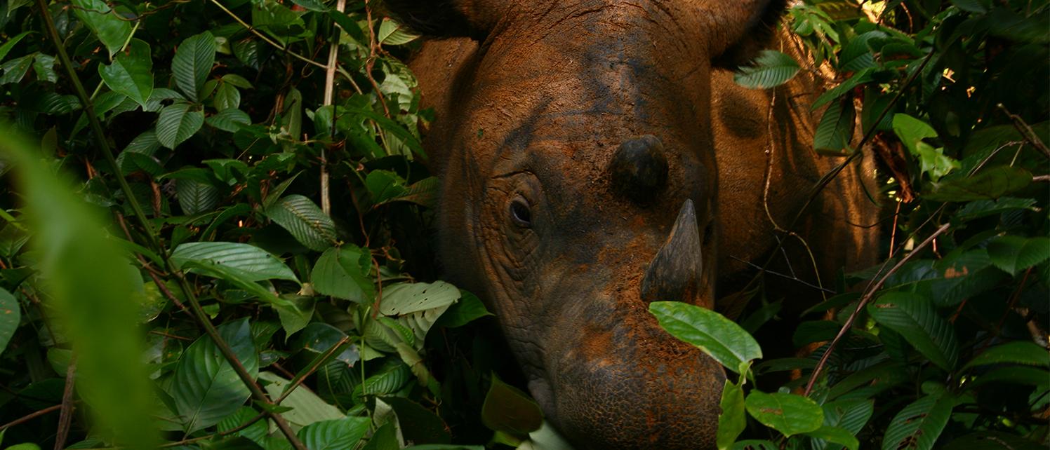 Sumatran-Rhino-1