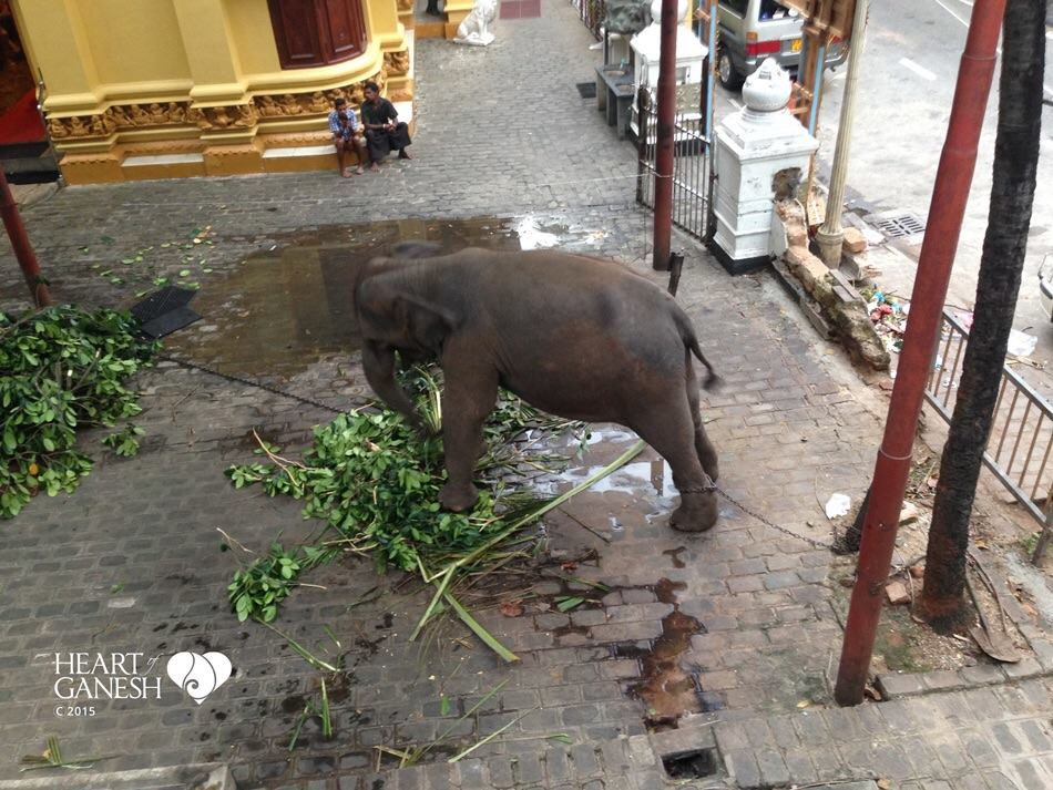 Illegally-captured juvenile elephants remain caught  in the crosshairs of a criminal network,  cleverly disguised within the folds of Culture and Religion.