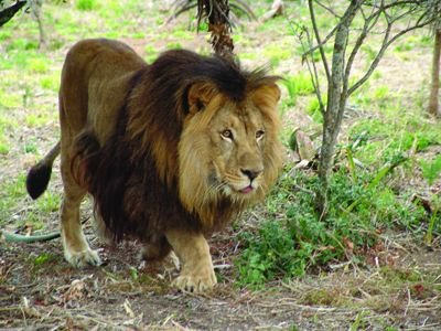 SINBAD-MY-ADOPTED-LION-FROM-BORN-FREE-lions-26140772-400-300