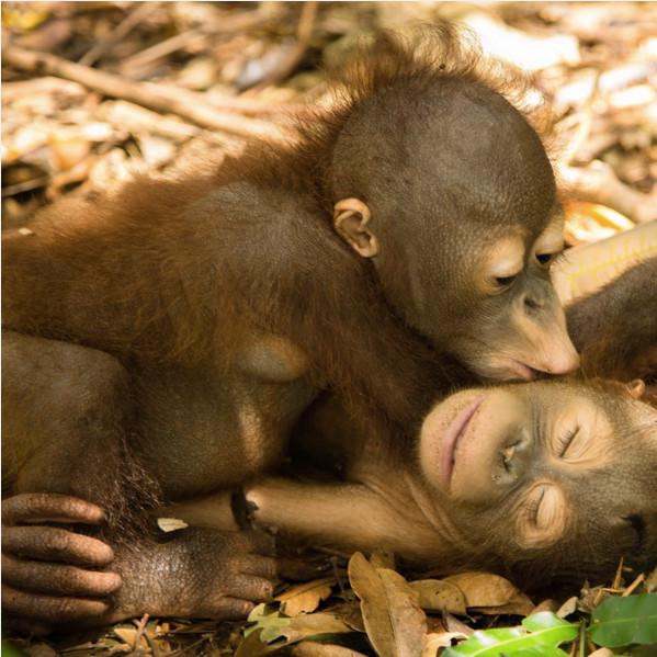 Orangutan in Text