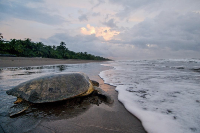 This Turtle is Stepping Closer to Extinction … Unless we Take Action Now