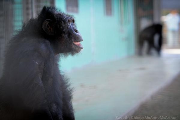 Retired Laboratory Primates