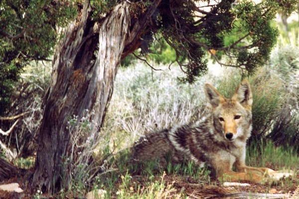 project cayote save 061411
