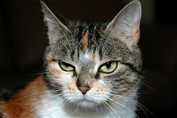 angry vegan cat