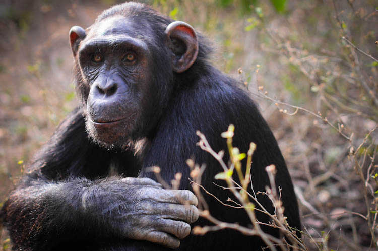 rescued from the bush meat trade. Sanaga Young/In Defense of Animals.