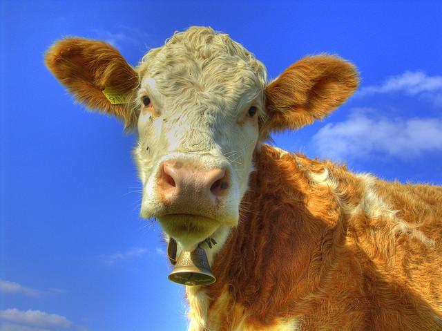 cows herbivores omnivores