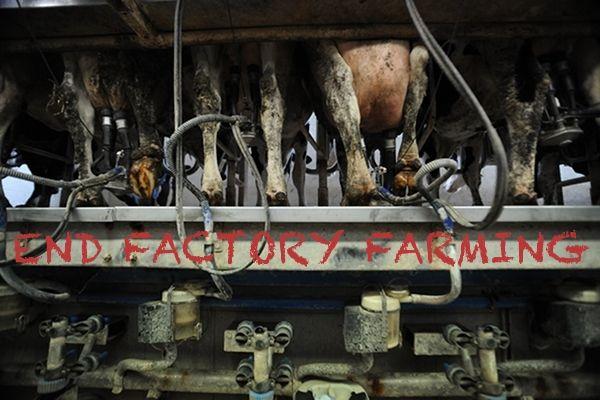 end factory farming dairy_Jo-Anne McArthur