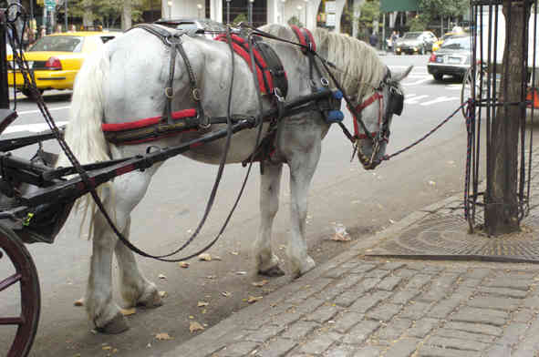 Weary NYC Carriage Horse