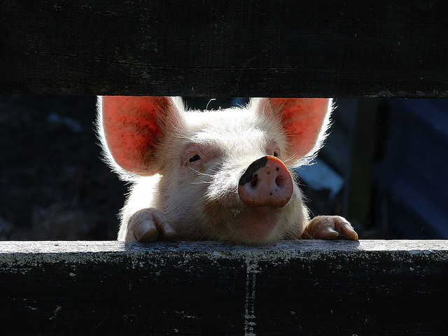 Ag-Gag Laws: Pulling the Curtain on the Glass Walls