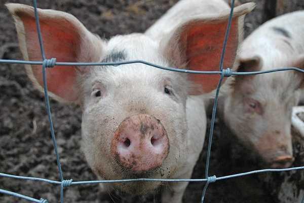 Antibiotics in Animal Feed: The Birth of a Superbug