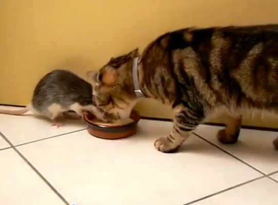 WATCH: Cat and Rat Share a Meal