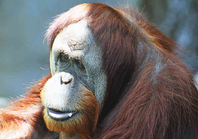 Orangutan Enjoys Special Screening of Film About Orangutans
