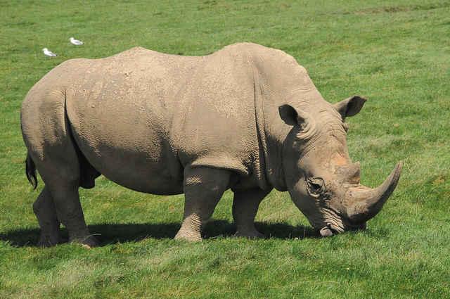 Rhino Dies During Anti-Poaching Demonstration