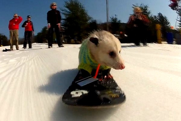 WATCH: Ratatouille the Snowboarding Opossum