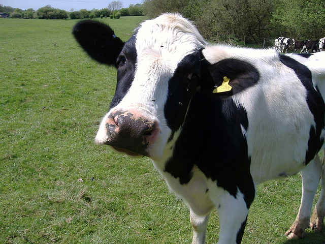 Company Promotes Robotic Milking Machine as Improvement for Cows!