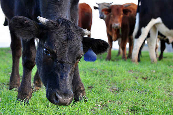 FDA Makes Feeble Attempt to Curb Antibiotic Use in Food Animals