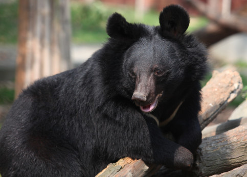 Five Ways You Can Help Animals Asia End Bear Bile Farming