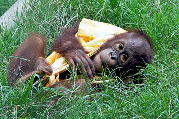 The Monkey in Your Shopping Cart: Your Groceries and Orangutan Extinction