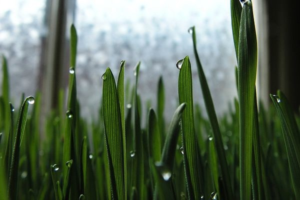 Spotlight on Wheatgrass: Health Benefits, Growing and Buying Tips