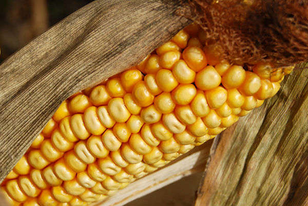 Americans Eat More Than Their Body Weight in GM Foods