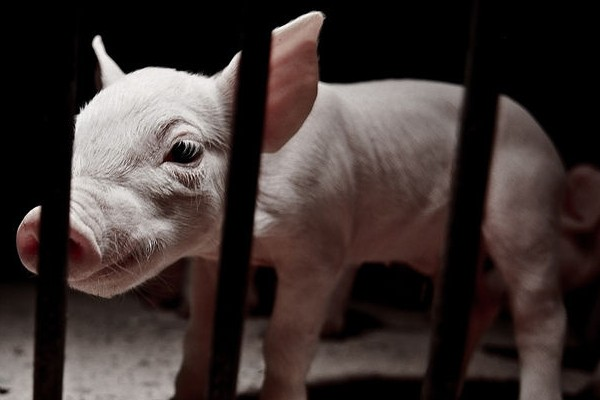 How Effective are Graphic Images for Animal Rights Campaigns?