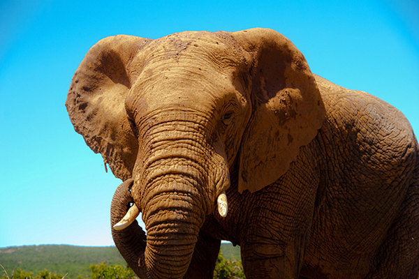 Toronto Zoo's African Elephants Finally Heading to Sunny California