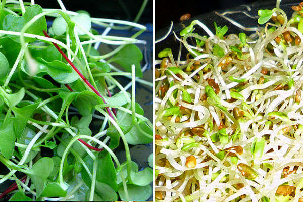 Mighty Microgreens Versus Super Sprouts