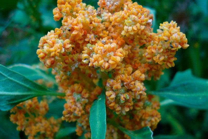Guess What? Quinoa Isn't A Grain, But It's Still Healthy