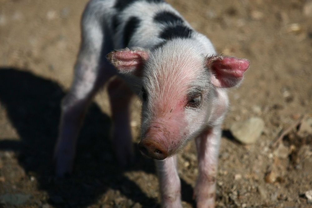 5 Adorable Videos Of Baby Farm Animals One Green Planet