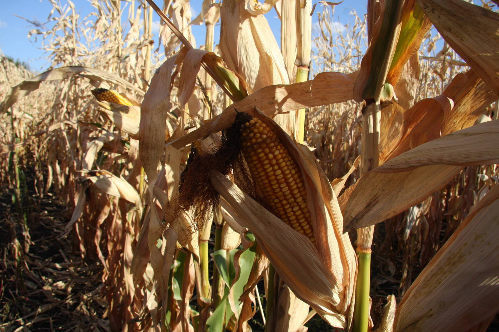3 Major Myths About GMOs Busted