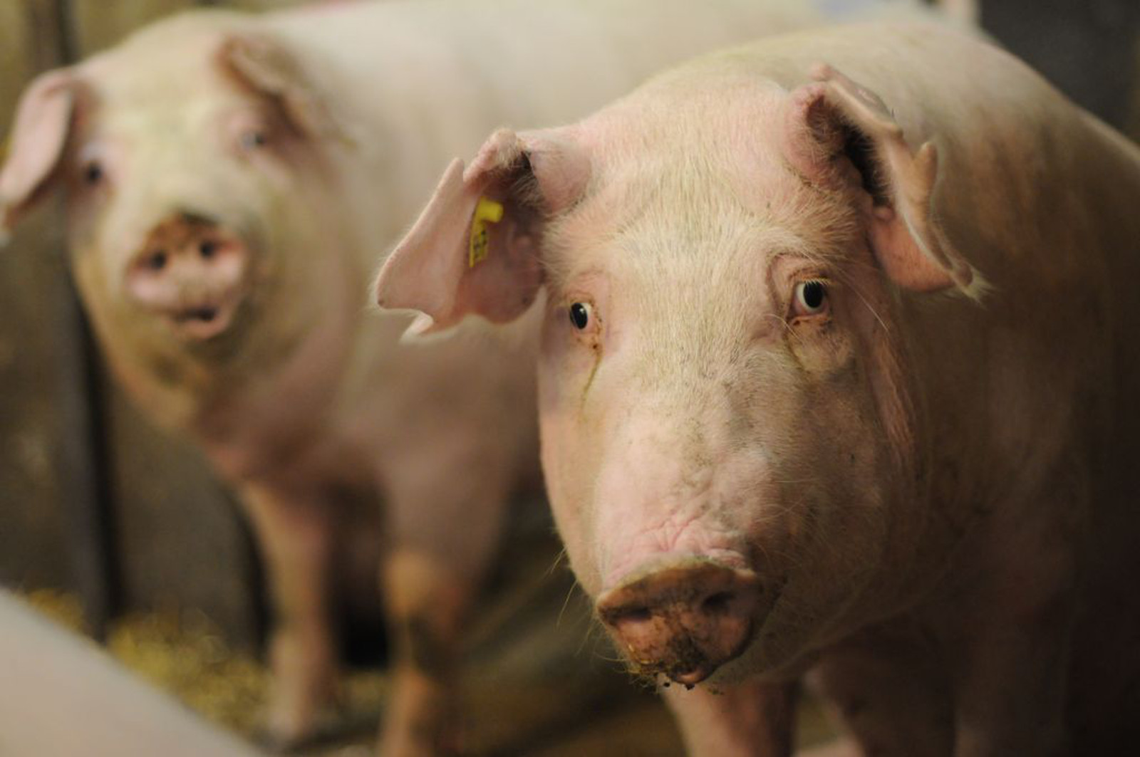 5 Powerful Videos on Factory Farming without the Gore