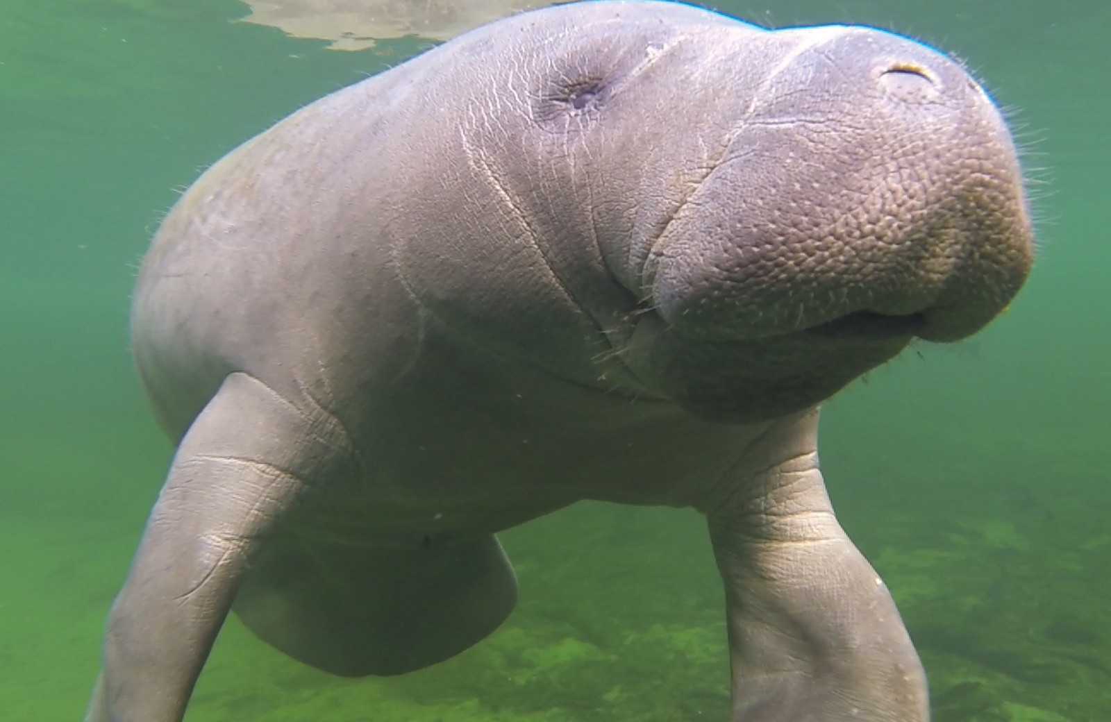 What You Need to Know About Manatees: Why They Are Under Threat and How You Can Help