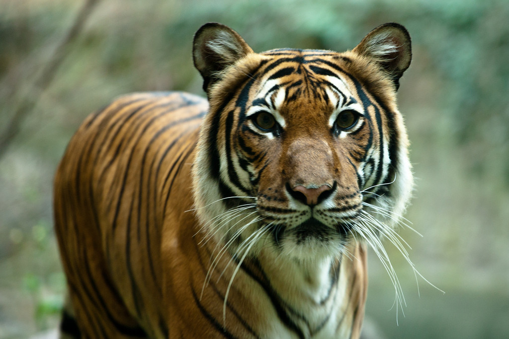 3 Threats to Big Cats Today and What You Can Do To Help