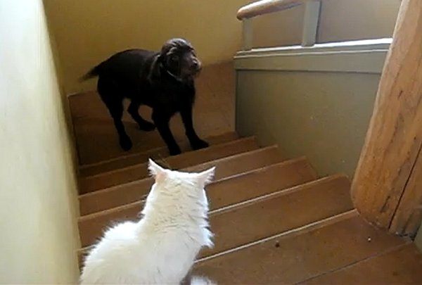 Amazing Video of Dogs Terrified of Walking Past Cats