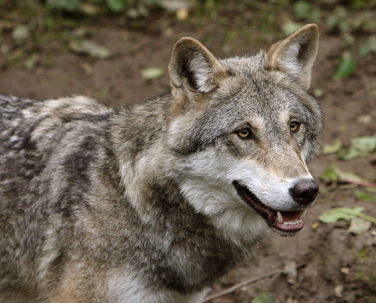 What Is Happening With America's Gray Wolves And How You Can Protect Them