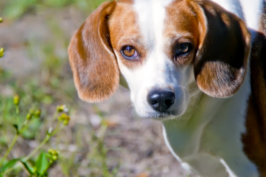 10 Awesome Beagle Rescue Groups In The U S One Green Planetone