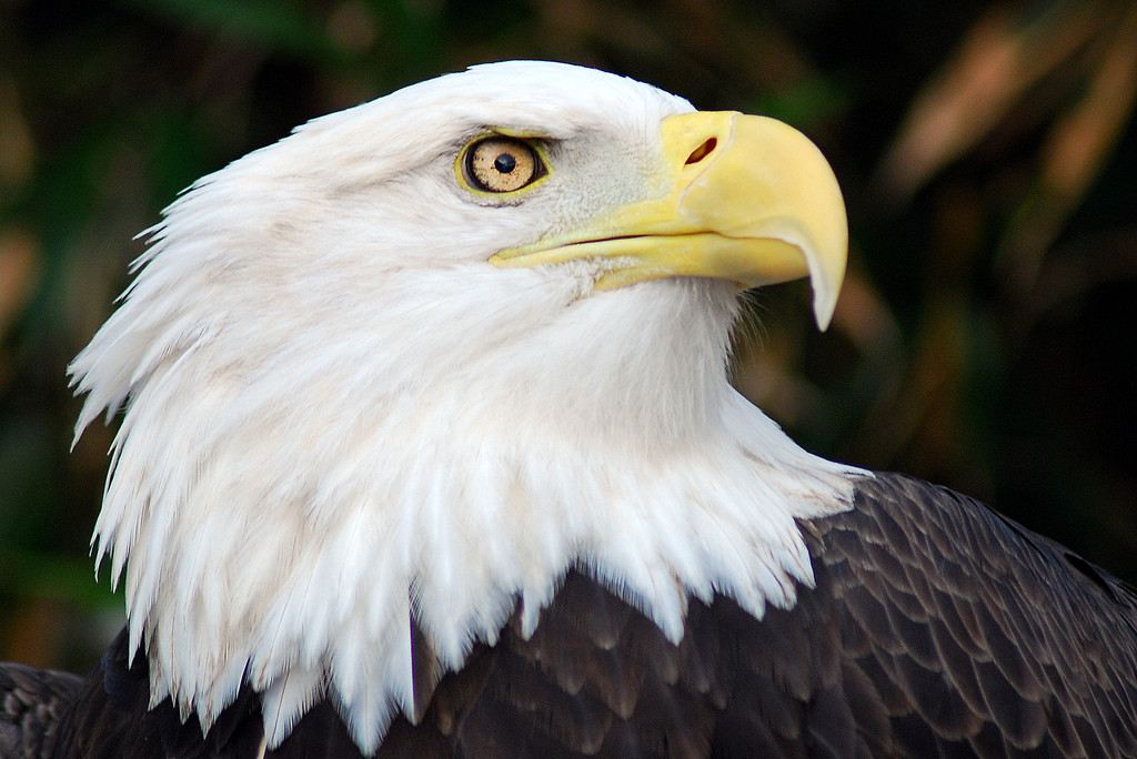 5 Facts You Didn't Know about America's Beloved Bald Eagle