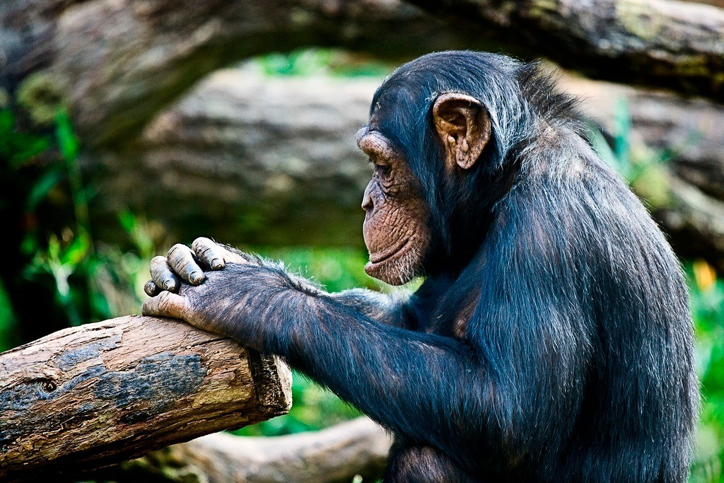 "5 Reasons Chimps Should be Considered ""Persons"""