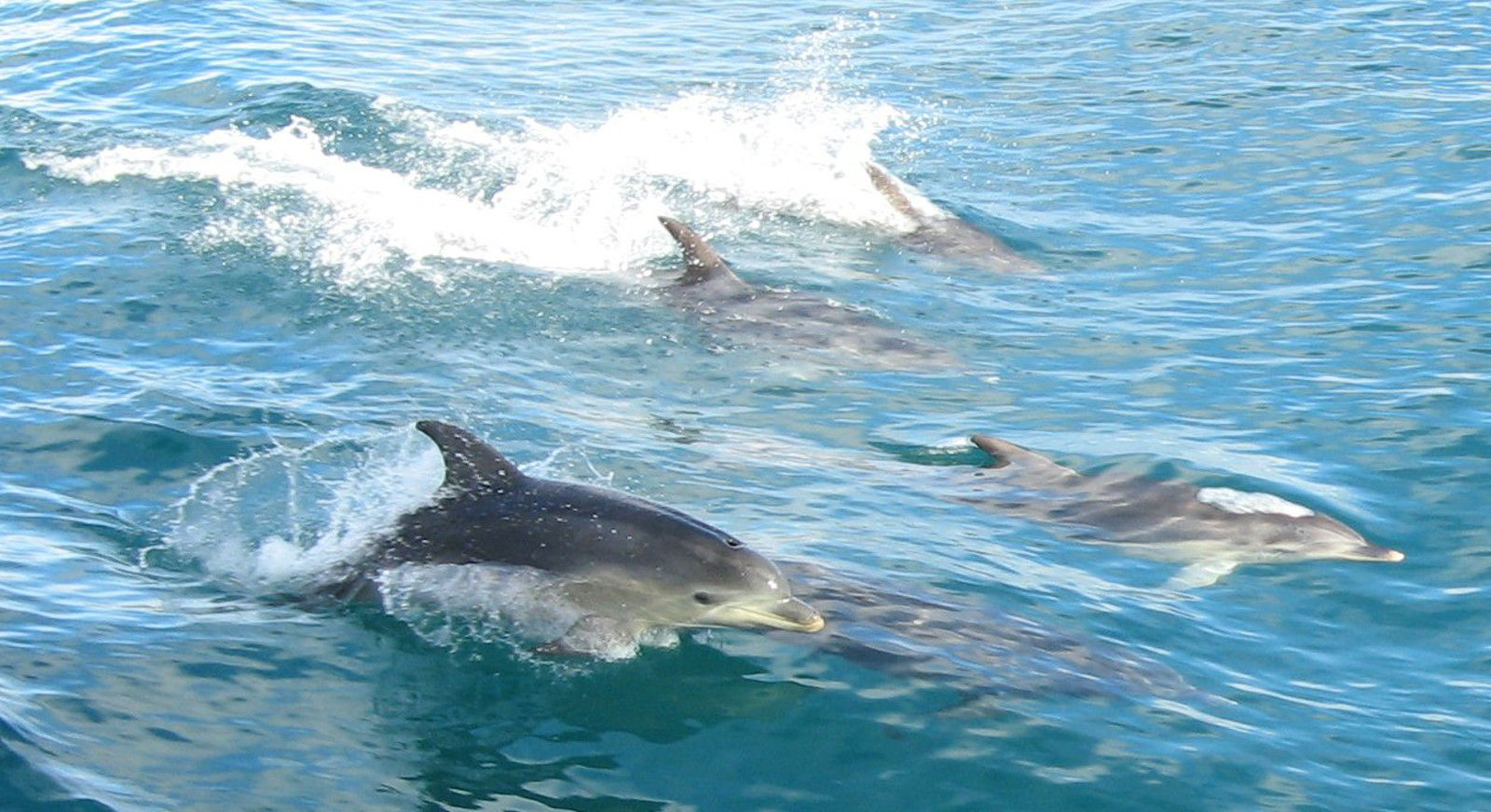 The Truth Behind Japanese Whale and Dolphin Hunts