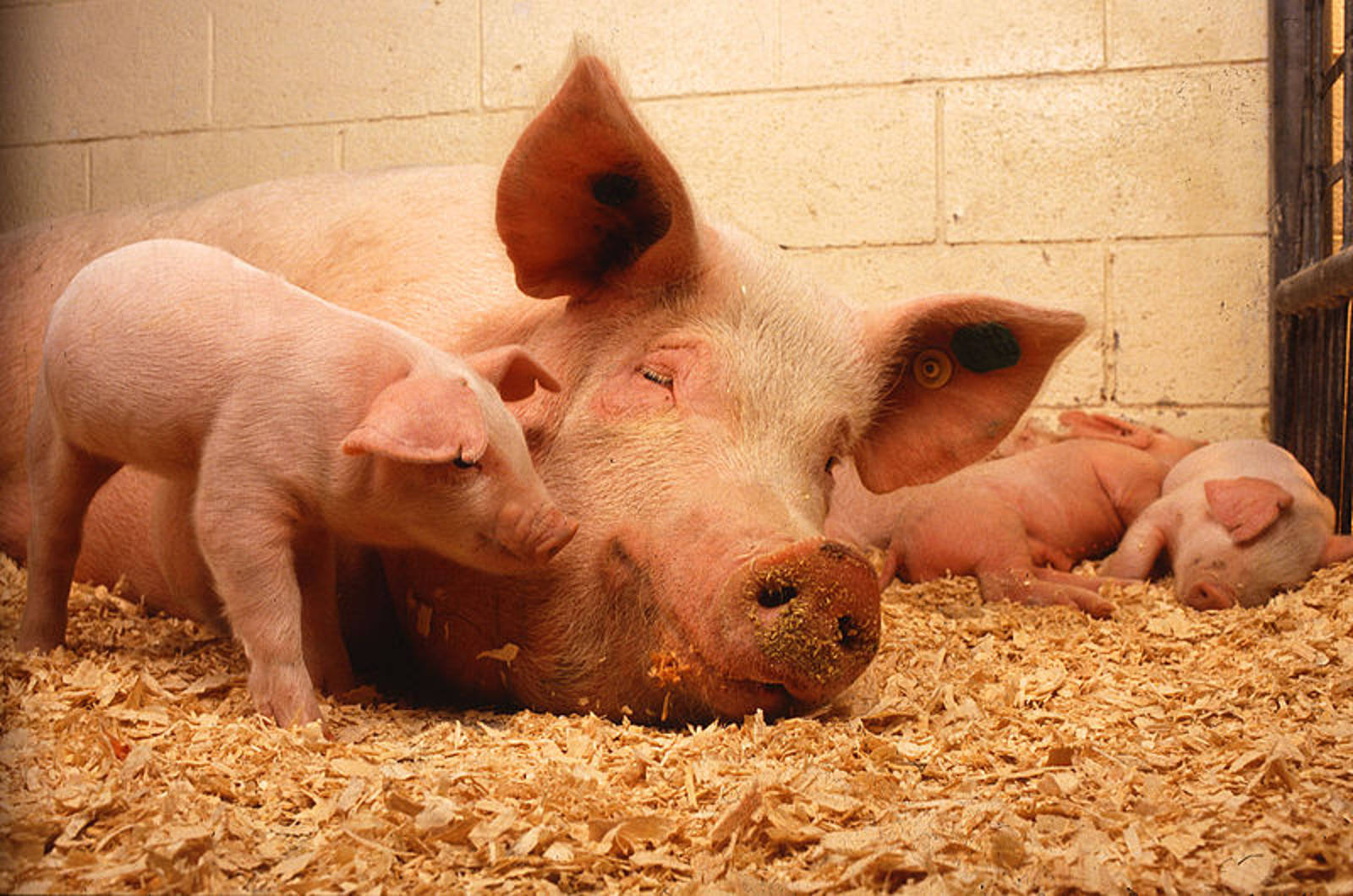 5 Animals Slaughtered for 'Traditional' Food