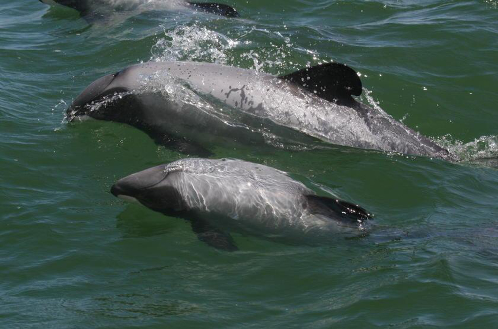What the Heck Is Going On with Maui's Dolphins and Why YOU Should Care