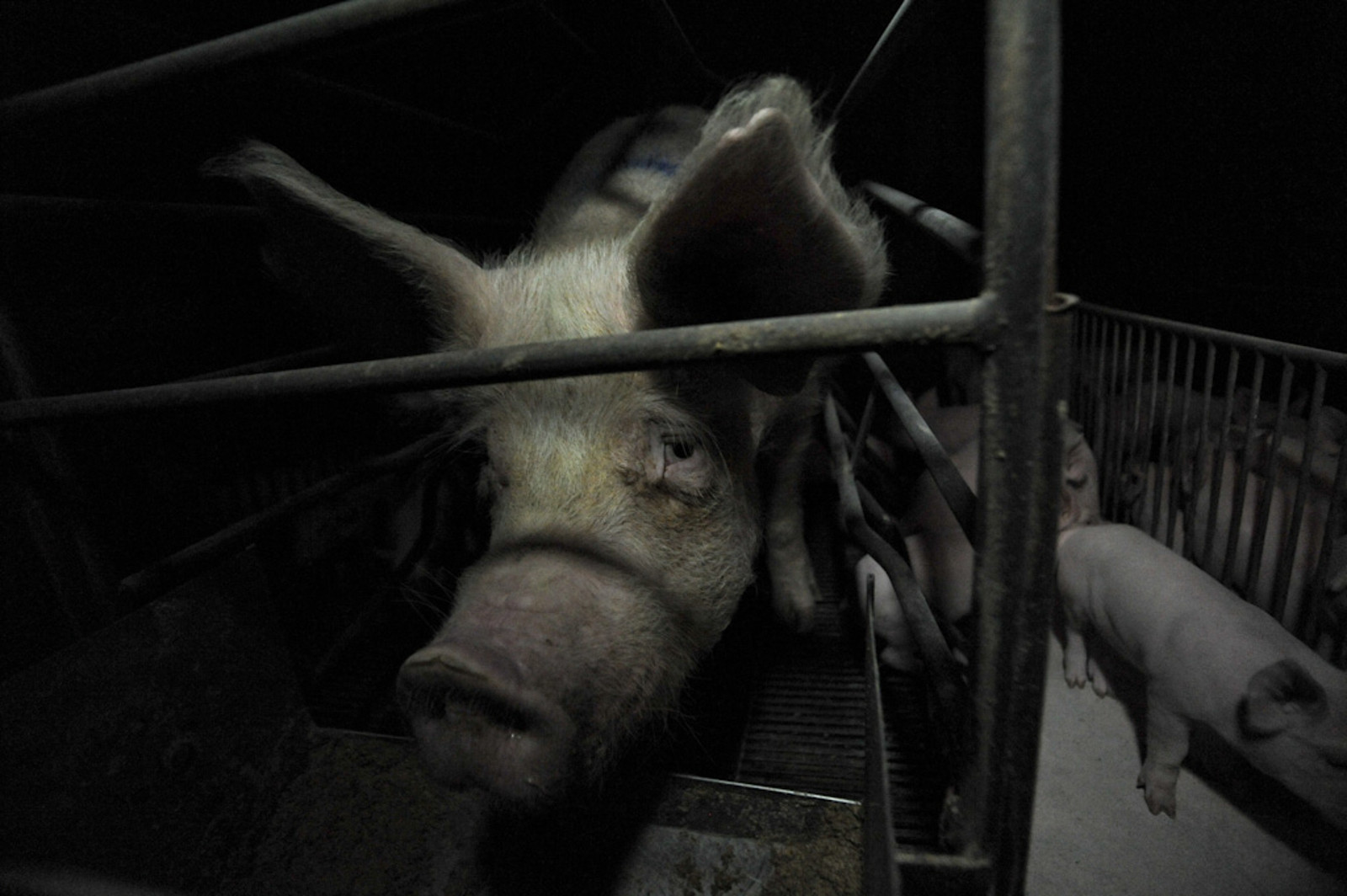 6 Ways Farm Animals Lack Legal Protection