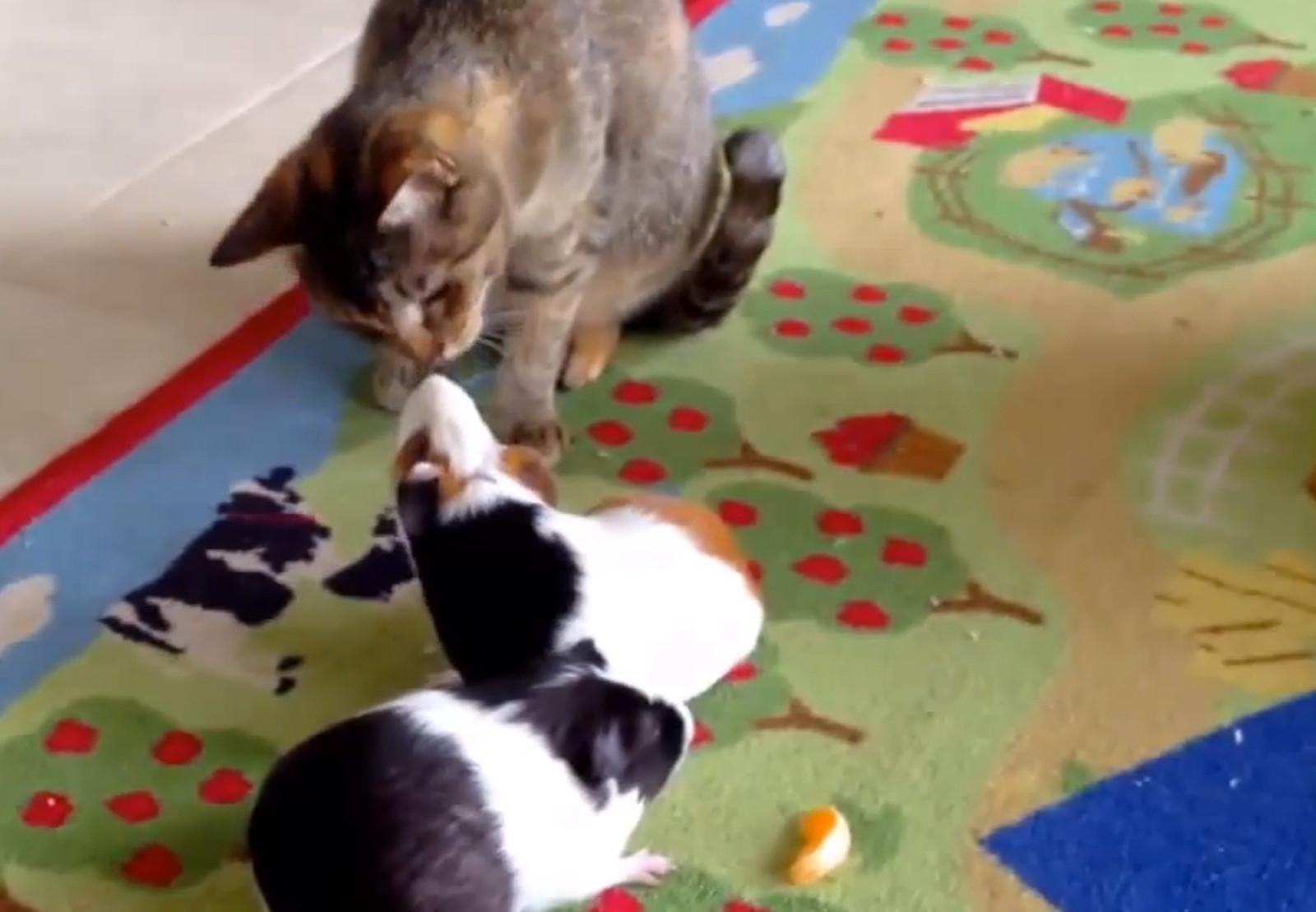 Cute Cats Love Guinea Pigs (Video)