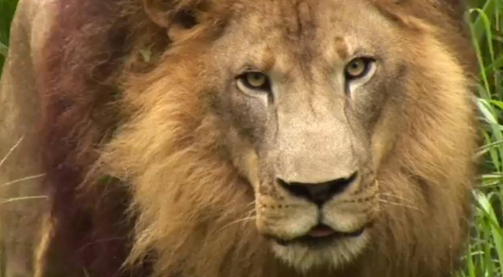 How to Hug a Lion (Video)