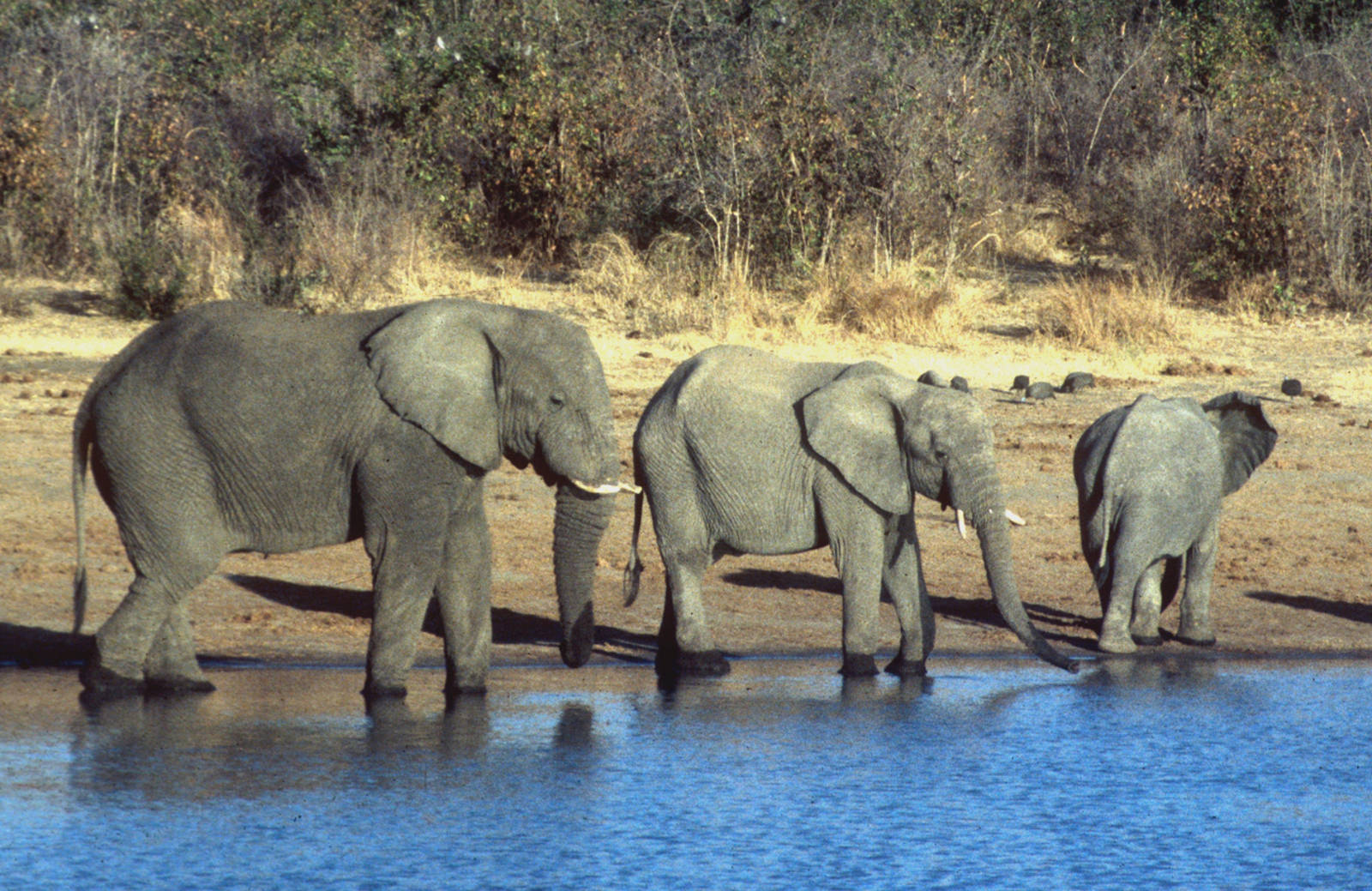 What Does the New U.S. Ivory Ban Man for Buyers, Sellers and Elephants?